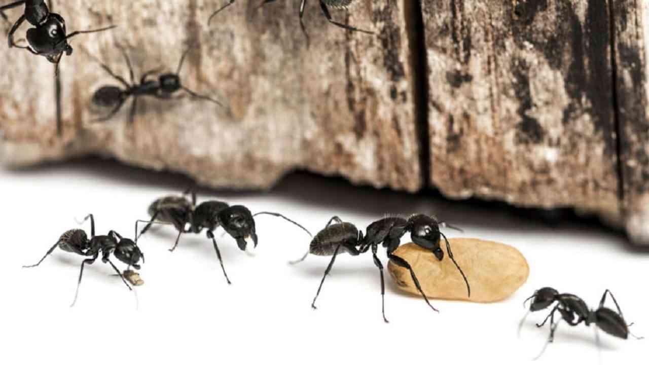 Control de plagas de Hormigas y Exterminador de Hormigas